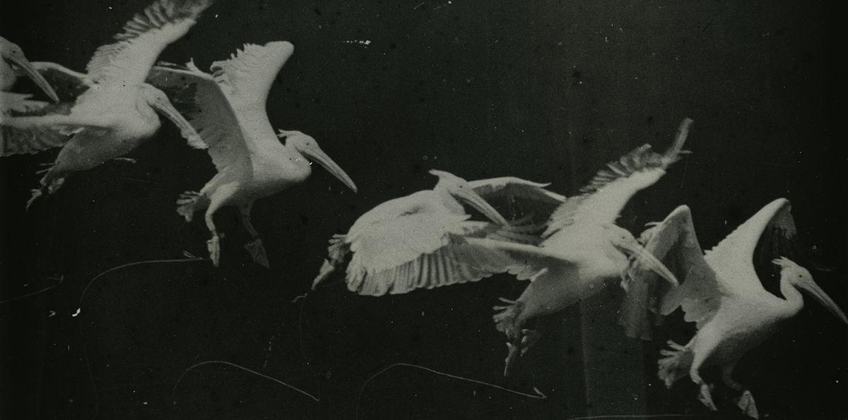 """""""Sequenza fotografica. Volo di un pellicano di E.J. Marey (1882)."""""""
